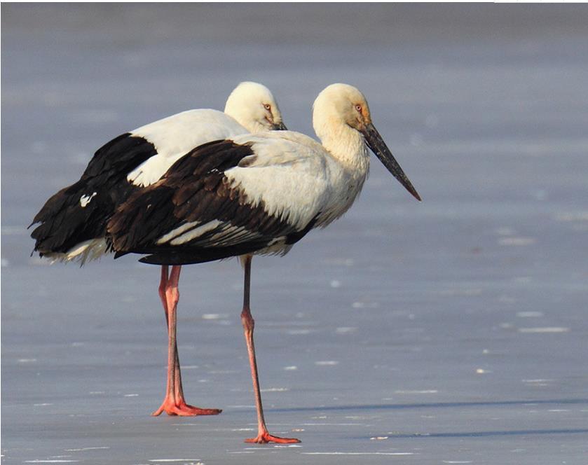 黃河三角洲東方白鹳繁殖雛鳥成功突破300隻